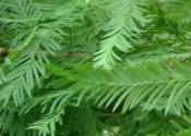 Bald Cypress Leaf