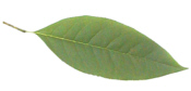 Black Gum Leaf