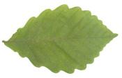 Chestnut Oak Leaf