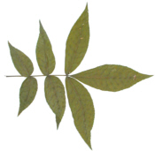 Mockernut Leaf