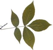 Shagbark Hickory Leaf
