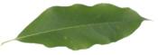 Sourwood Leaf