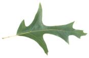 Southern Red Oak Leaf