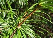 Japanese Umbrella Pine Leaf