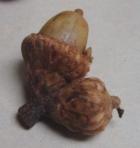 Acorns Blackjack Oak