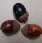 Acorns Chestnutoak