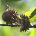 Acorns Sawtooth Oak