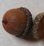Acorns Scarlet Oak