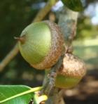 Acorns Shingle Oak
