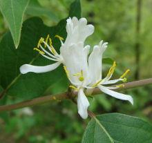 Amur Honeysuckle Flower