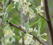Autumn Olive Flower