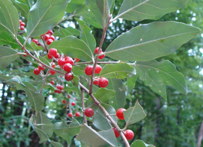 Autumn Olive Fruit