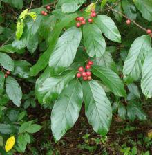 Button Bush Fruit