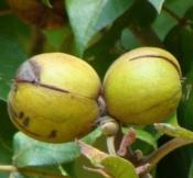 Caryafruit