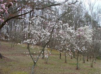 Magnolia Lower Planting