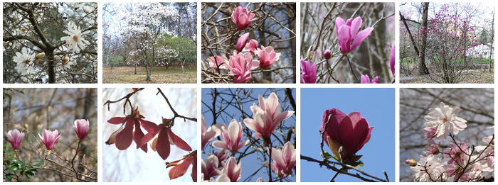 Magnolia Orchard
