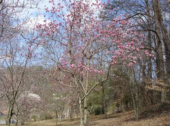 Magnolia Upper Planting
