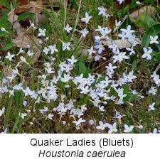 spring14bluets