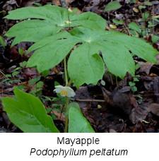 spring14mayapple