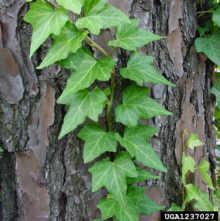 Urban English Ivy