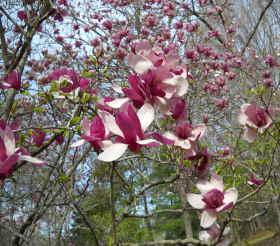 The Magnolia Orchard