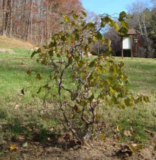 Walking Stick Leaves