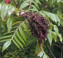 Wingedsumac Berries
