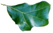 Blackjack Oak Leaf