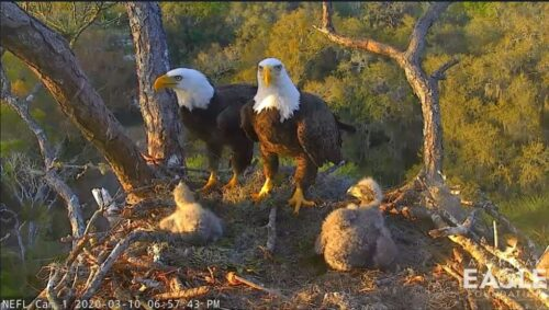 Eagles with Young