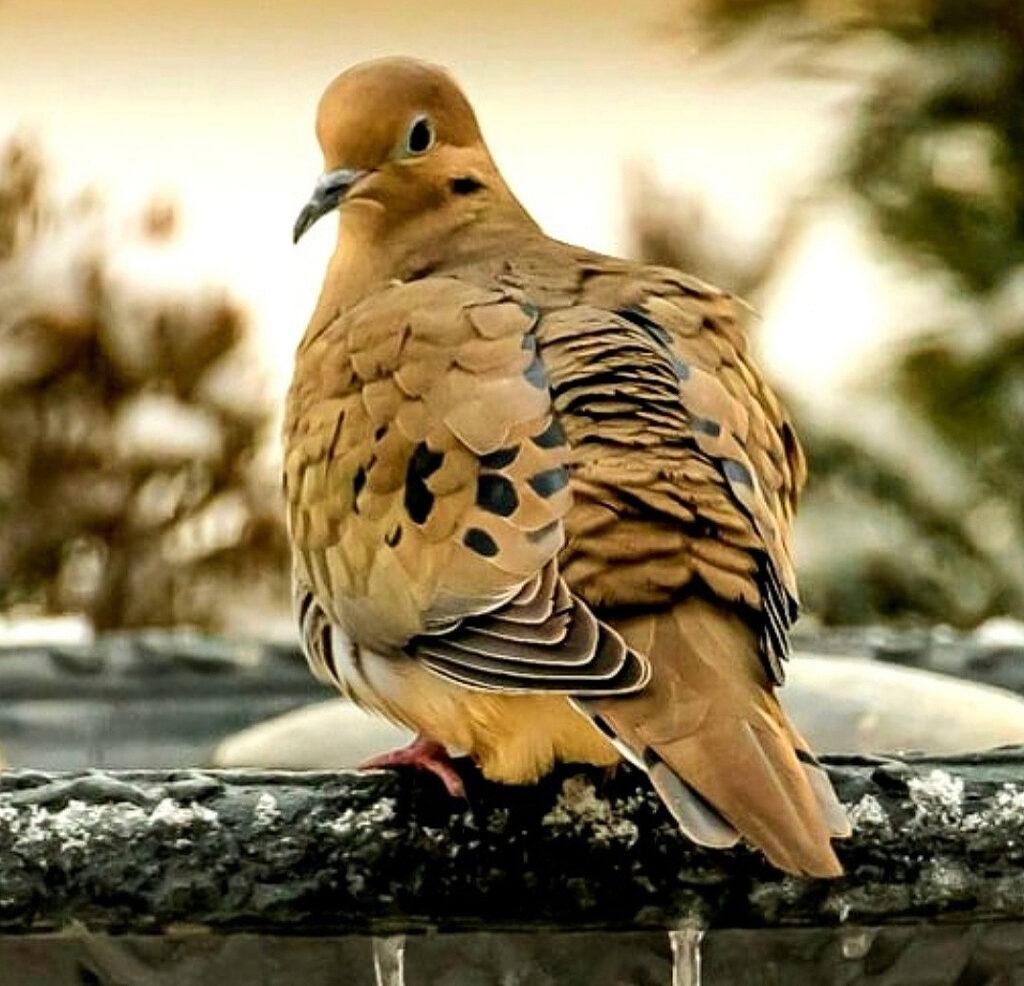 Thompson-Mourning-Dove