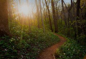 Serpent Mound Trail, Large White Trillium (Trillium grandiflorum)